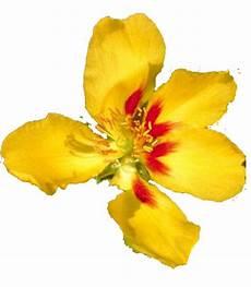 flor tipica del estado falcon flora de falc 243 n