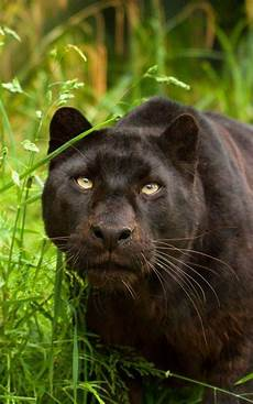 jaguar animal noir panth 232 re noir black panther big cats fierce animals