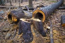 couper un arbre 12261 des 233 cologistes menacent d abattre des arbres sur le mont royal andr 233 normandin montr 233 al