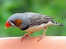 Gambar Burung Pipit Lucu Gambar Burung Hias Piaraan Kicau