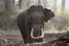 Malvorlage Indischer Elefant Asiatischer Elefant Indischer Elefant Elephas Maximus