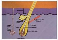 Anatomi Dan Fisiologi Sistem Integumen Manusia