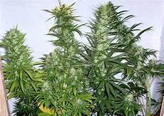 beginners growing marijuana indoors