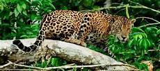 sur les traces du jaguar le costa rica 100 authentique