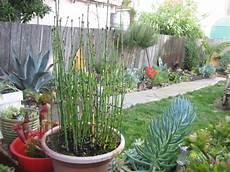 prele du japon en pot equisetum hyemale equisetum japonicum les pr 234 les