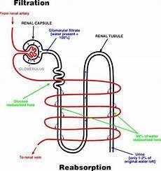 Biologi Gonzaga Pembentukan Urine Skematik