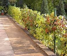 lebender zaun immergrün zaunbegr 252 nung m kletterpflanzen auswahl kultur und