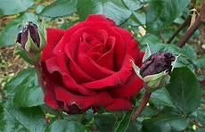 Bunga Bunga Di Malaysia Bunga Mawar
