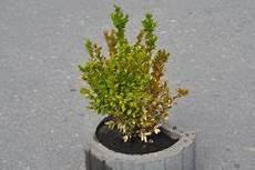 buchsbaum ist trocken 187 ursachen und ma 223 nahmen