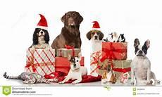 christmas pets stock image image of purebred decoration 35608669