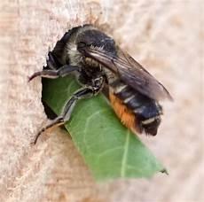 löcher in rosenblättern blattschneiderbienen im naturgarten natopia projekte