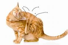 produit anti puce chaton anti puce chat chaton produit et traitement efficace