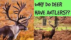 why do deer have antlers youtube