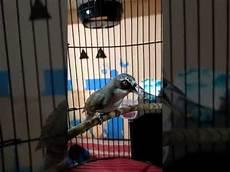 Terkeren 26 Gambar Burung Opior Jantan Dan Betina Gani