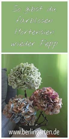 getrocknete hortensien mit spr 252 hlack wieder farblichen