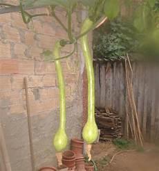 zucchine in vaso la zucchina cucuzela coltivata in vaso l orto sul balcone