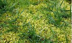 moos im rasen kalk pflanzen f 252 r nassen boden