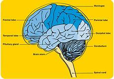 Brain Cancer Diagram by Symptoms Of Brain Tumours Cancer Council Nsw