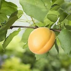 abricotier bergeron taille en palmette u palmette