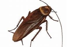 se débarrasser des blattes des coquerelles et blattes des cafards chez vous il faut