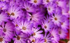 blume lila nahaufnahme von lila blumen hd hintergrundbilder