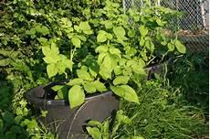 kartoffeln pflanzen im august kartoffeln selbst pflanzen im eimer l 228 ndchenlust