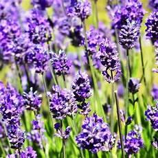 Top 5 Pflanzen Gegen M 252 Cken Und Fliegen Wohnideen Und