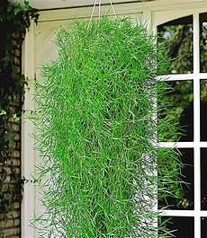 h 228 ngender bambus quot green twist quot 2 pflanzen g 252 nstig