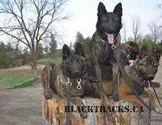 Apartment Protection Dogs by Belgian Shepherd Kijiji Free Classifieds In Ontario