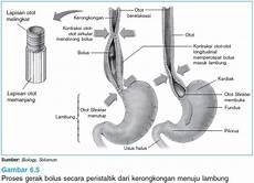 The Other Story Anatomi Fungsi Kerongkongan