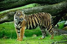 Harimau Ngikik