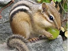 gabbia per scoiattolo giapponese roditori pepito company