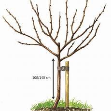 Cerisier Bigarreau Moreau Taille En Demi Tige Demi Tige