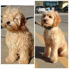 types of goldendoodle haircuts google search pretty image result for cockapoo grooming styles goldendoodle grooming puppy grooming mini