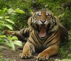 Gambar Foto Hewan Foto Harimau Sumatera