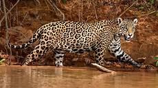 Pic Of Jaguar by Jaguars Nwf Ranger Rick