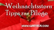 weihnachtsstern pflanze pflege weihnachtsstern infos und tipps zur pflege