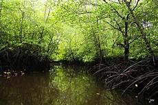 2 000 Ha Hutan Mangrove Di Labura Dirambah 9 Pengusaha