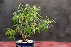 pflanzen gegen mücken und fliegen balkonpflanzen gegen m 252 cken 187 die 10 wirksamsten pflanzen
