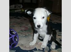 Border Collie Puppy Free Stock Photo   Public Domain Pictures
