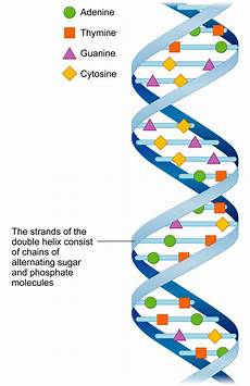 chromosomes and dna ck 12 foundation