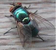 Lalat Hijau Calliphoridae Bioekologi Dan Pengendalian