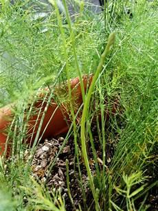 Asparagus Container Gardening
