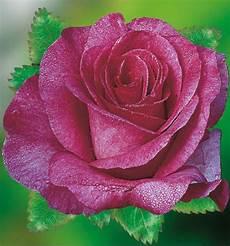 rosier buisson pas cher les 25 meilleures id 233 es de la cat 233 gorie rosier buisson sur