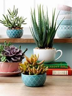 sukkulenten winterhart kaufen pflanzen halbschattig winterhart pflanzen g nstig