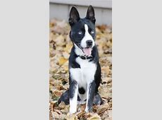 14 Unreal Boston Terrier Cross Breeds You Have To See To