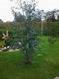 eukalyptus winterhart kaufen eukalyptus eucalyptus gunnii baumschule horstmann