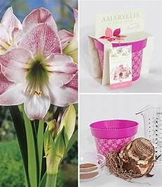 amaryllis im topf amaryllis im topf apple blossom bl 252 hende zimmerpflanzen bei baldur garten