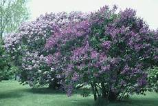 lilac tree is a lilac a tree or a bush home guides sf gate