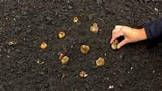 wann zwiebeln stecken zwiebeln und knollen fr 252 hjahrsbl 252 hern setzen gartennatur